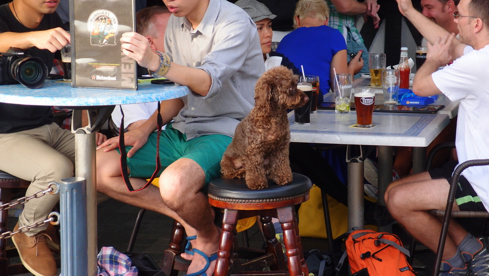Poodle enjoying a pint