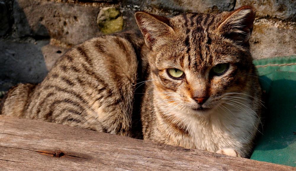 A wild cat at Tai O Fishing Village