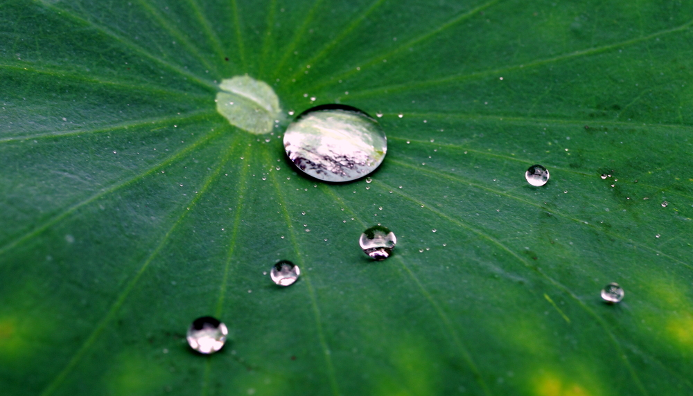 Water drops on a water lilly - looking a bit like small worlds!!