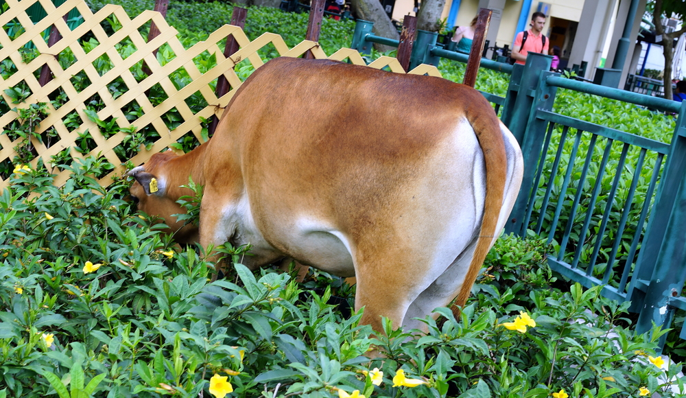 """Not quite as random as it looks (it has a tag) this is one of the """"wild cows of Lantau"""""""