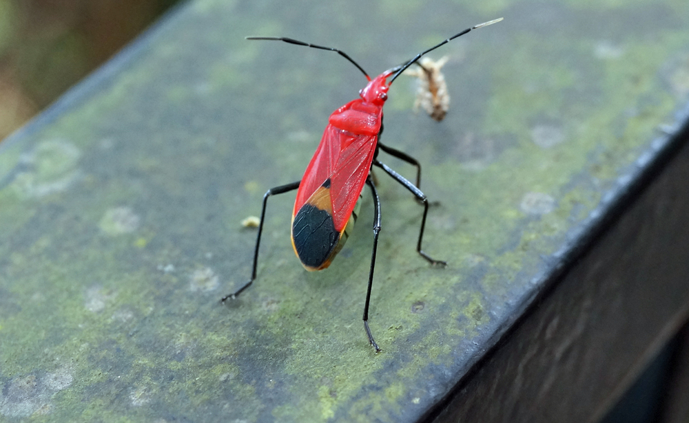 A fairly typical Hong Kong bug making a meal out of a much smaller bug...