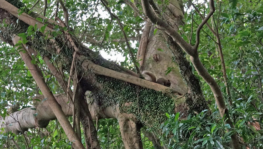 Look closely in the tree and you will see a baby squirrel, I get very excited when I see one, this makes it 5 sightings in 39 years! - Hong Kong does not have an abundance of wildlife.