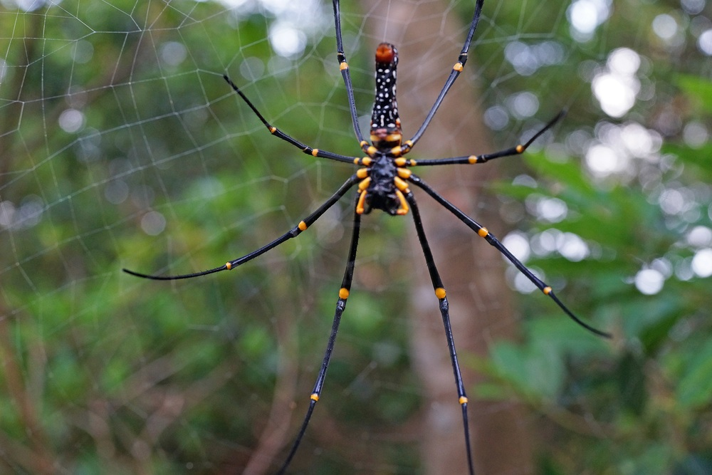 My old friend - the Golden Orb spider and yes, they are getting bigger.