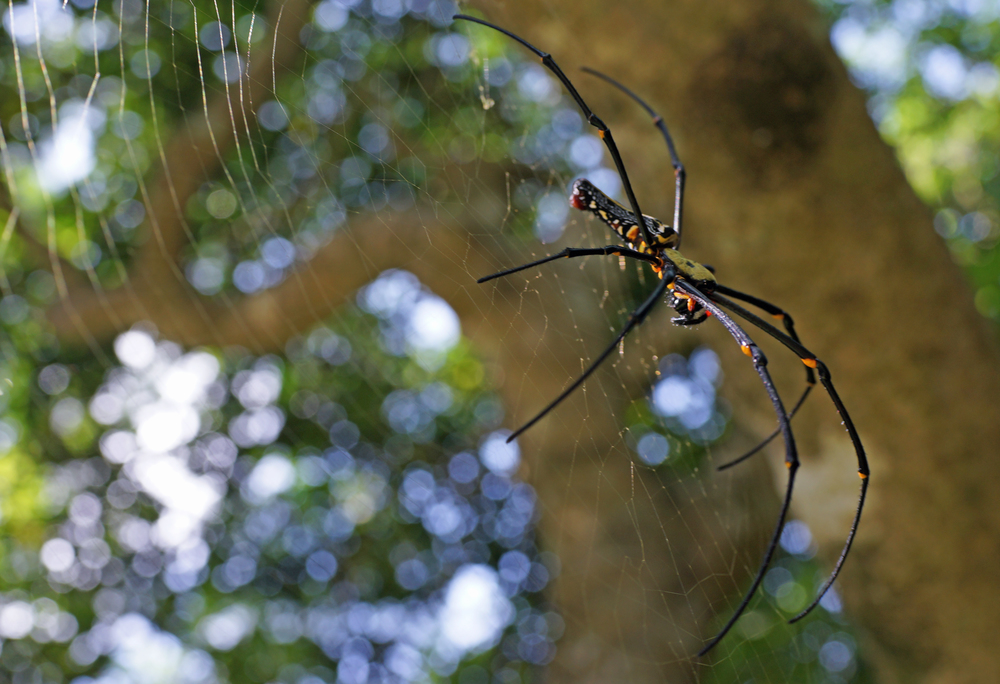 Yup, it is my old friend the Golden Orb spider at Victoria Peak