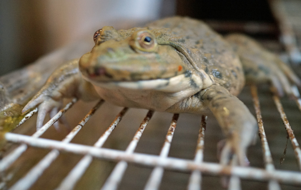 Not a happy life for a frog in Hong Kong, they sit with family and friends in a cage for 24 hours before getting their heads lopped off. Frogs have become quite popular here and you can see them at most wet markets contemplating the frog afterlife. -