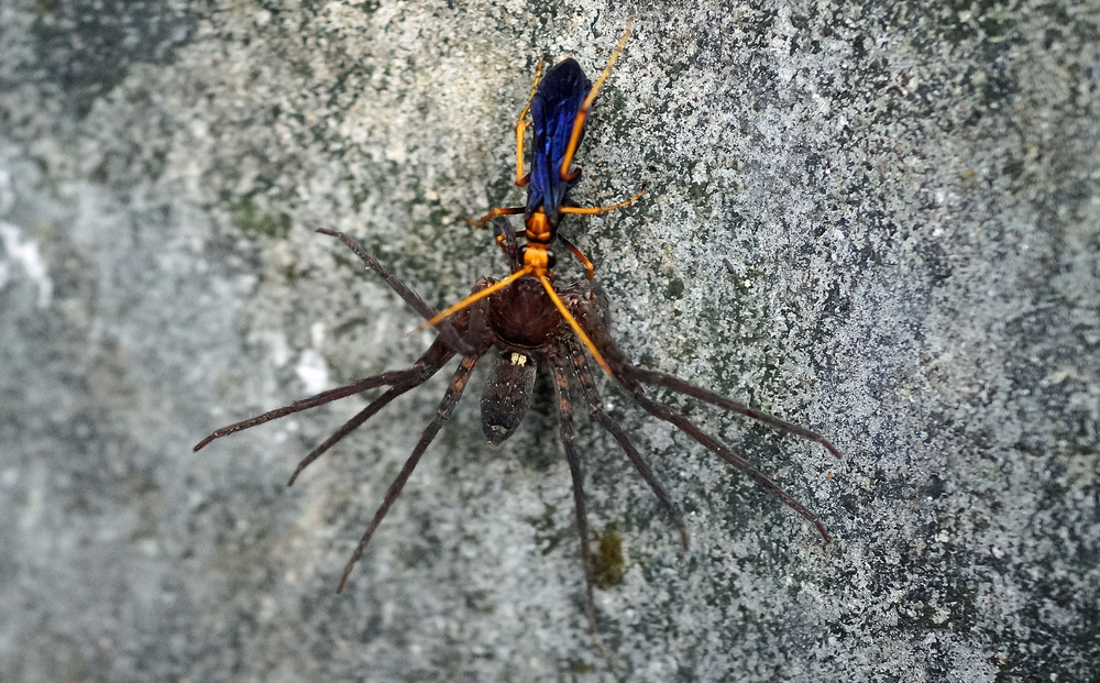The orange legged blue winged bug answered a question I have pondered for ages, is it poisonous? yes, it is - we saw it swoop down and inject this large spider with venom, the spider was dead in 2 seconds! -