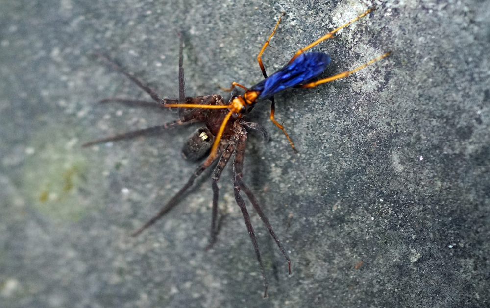 I have often seen these blue winged bugs at the Peak and often wondered if they were poisonous and yes, they are, this poor spider was dead in a nanosecond after being bitten by said bug -  go here for just some of my Hong Kong bug images