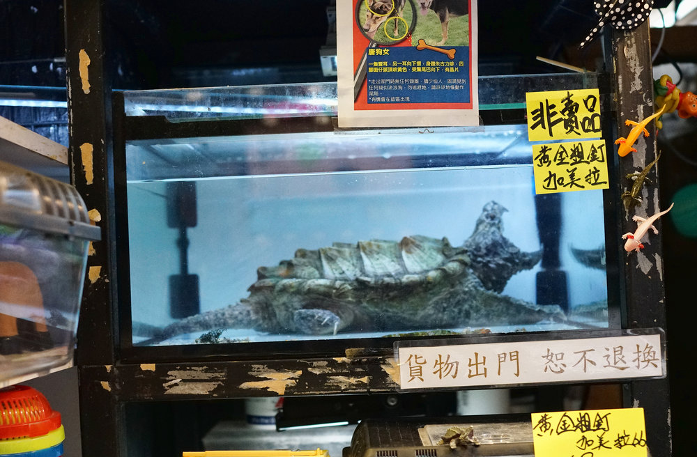 One for the kids, the positively prehistoric alligator snapper turtle on display in the Goldfish Market, amazing creature and not one to trifle with....