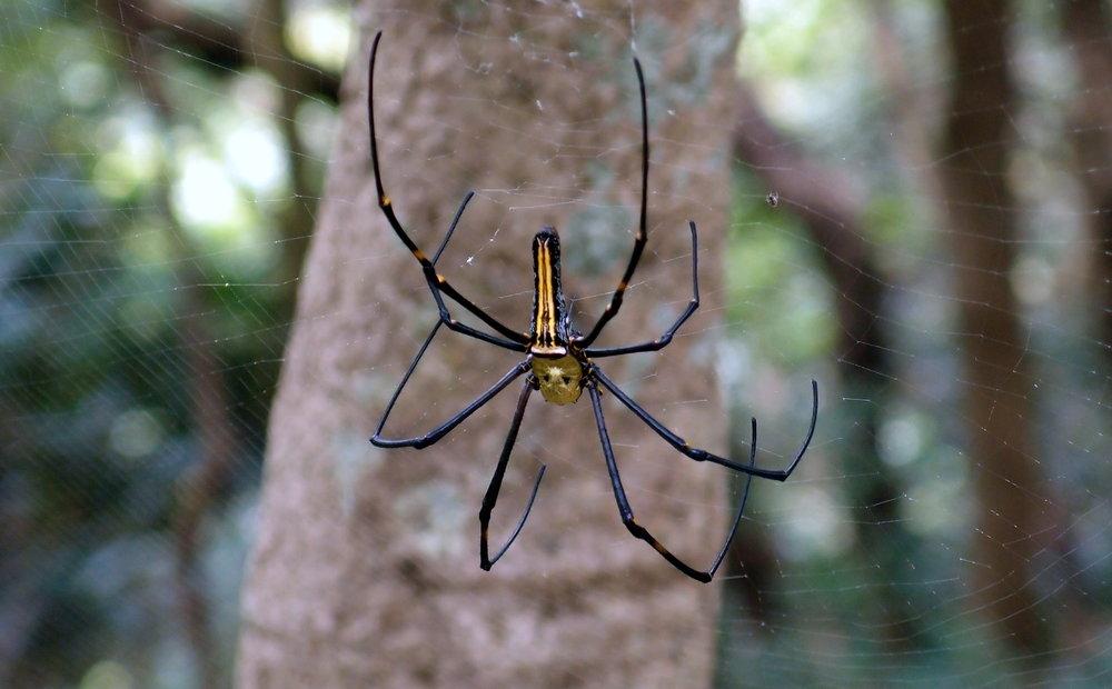 Golden Orb Spider, Victoria Peak (1).jpg