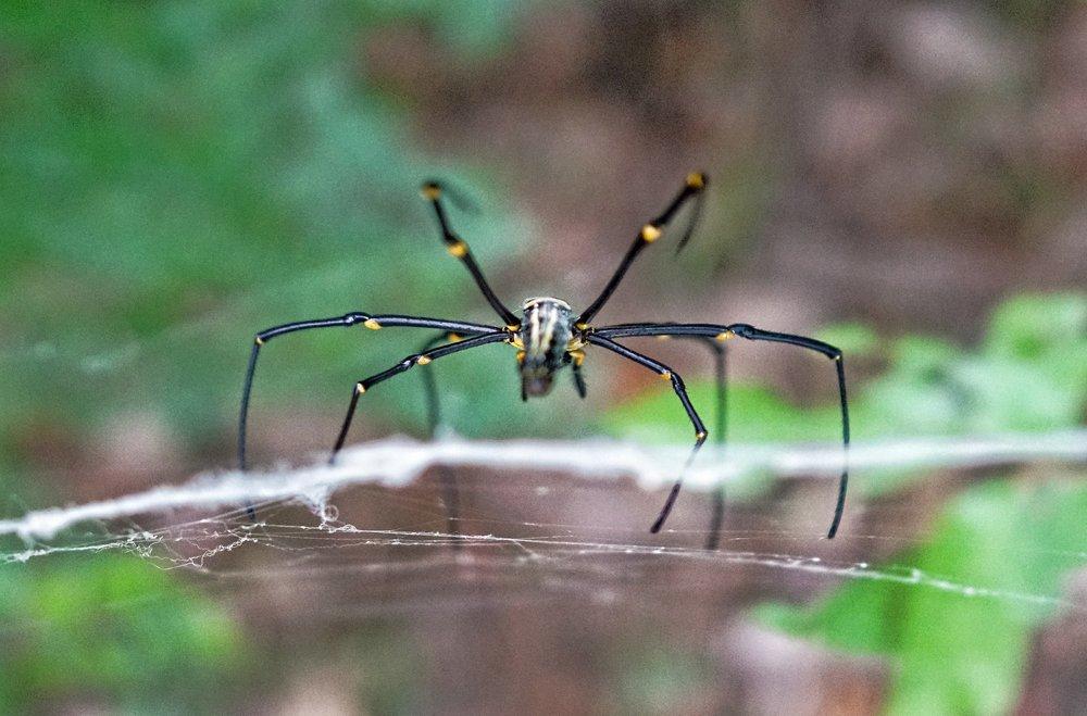Golden Orb Spider, Victoria Peak (4).jpg
