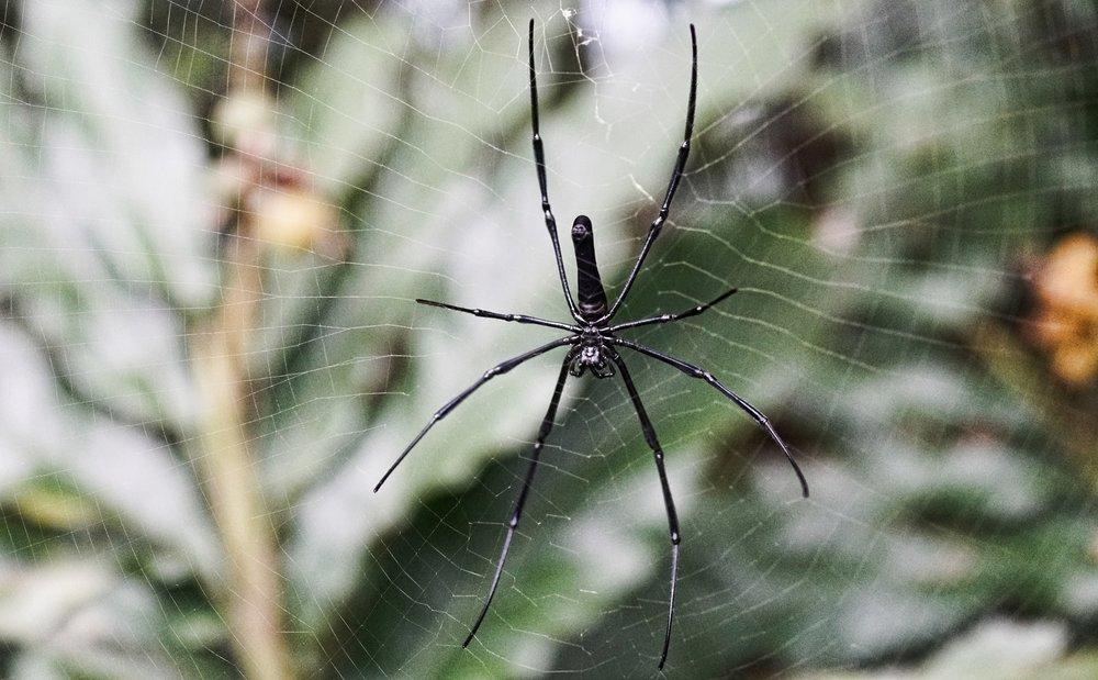 Golden Orb Spider, Victoria Peak (5).jpg