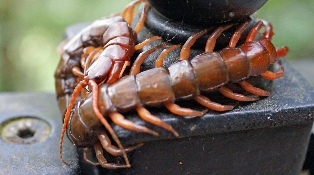 Giant Centipede.jpg