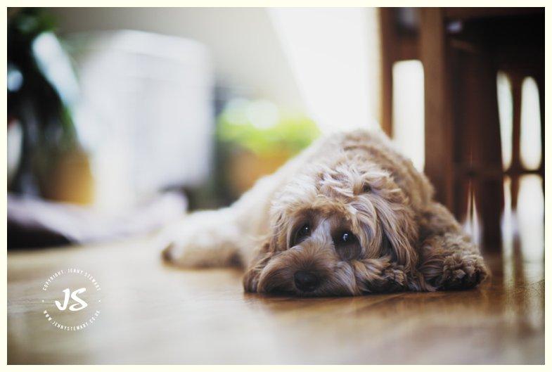dougal dog the cockapoo