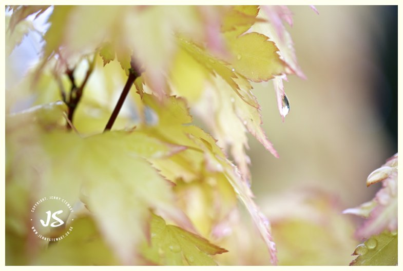 acer leaf with water droplets