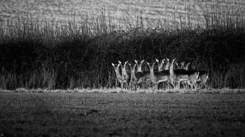 10 deer against hedge looking directly at camera