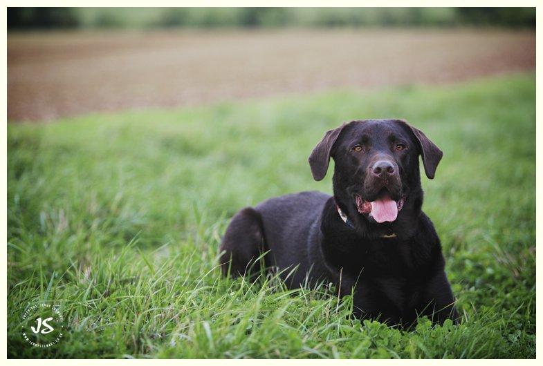 animal portrait - labrador