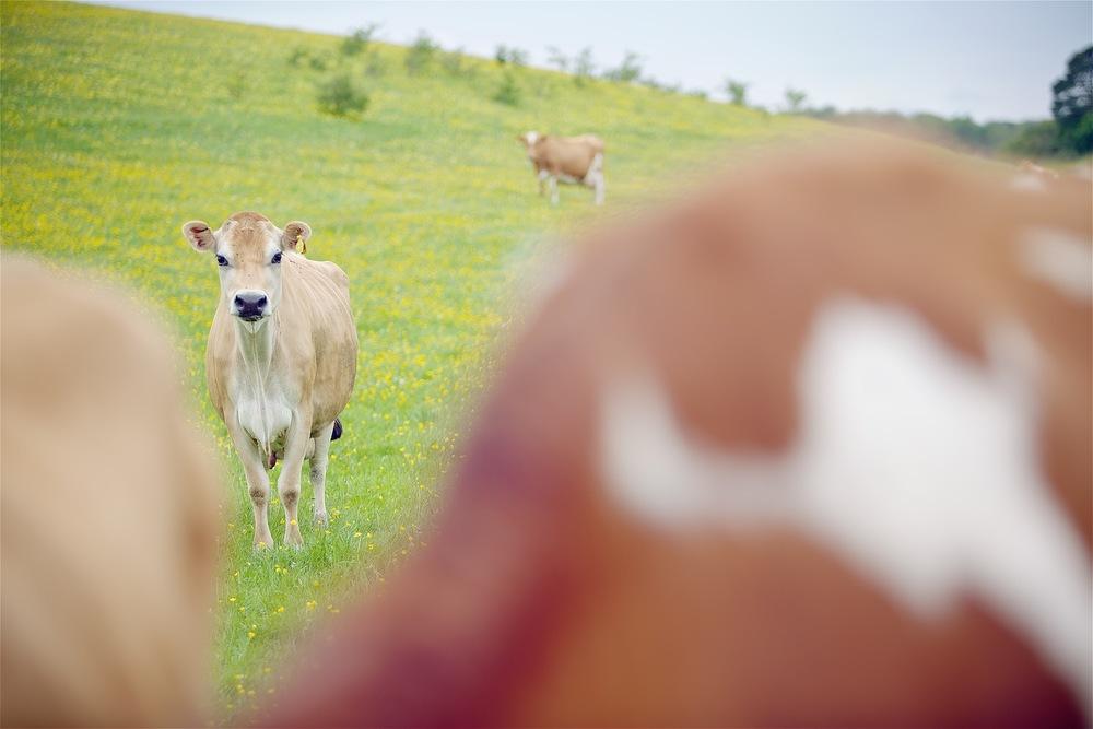 Cows 009.jpg