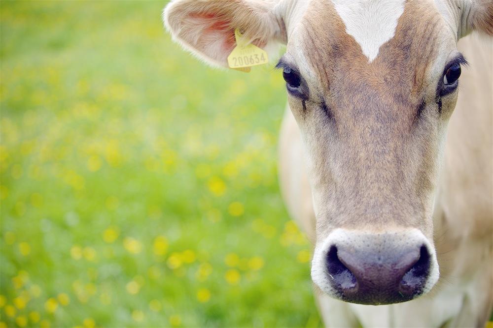 Cows 023.jpg