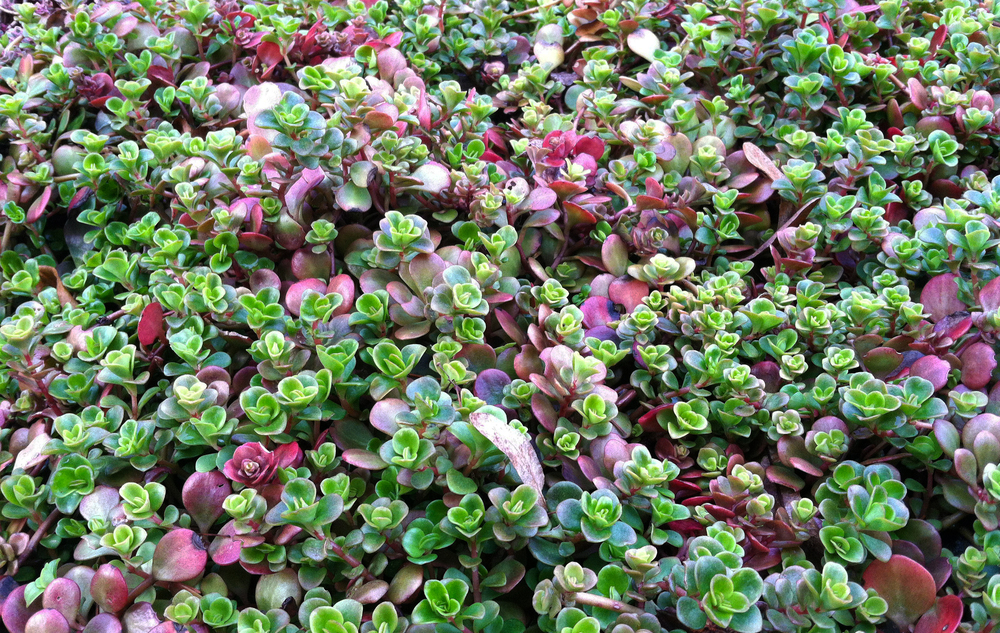 groundcoversucculent.jpg