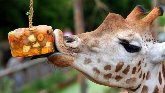 NOTE: Giraffe's are amiable, especially when an ice cubes filled with delicious flavors are hung in front of their faces.