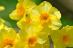 daffodils49828a.jpg