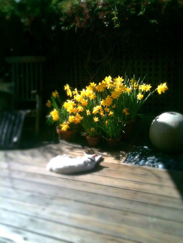 kilu_daffodils.jpg