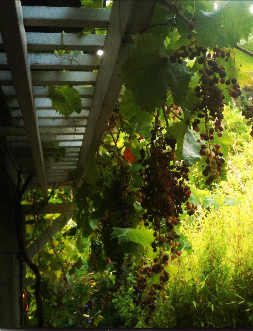 grape_trellis.jpg