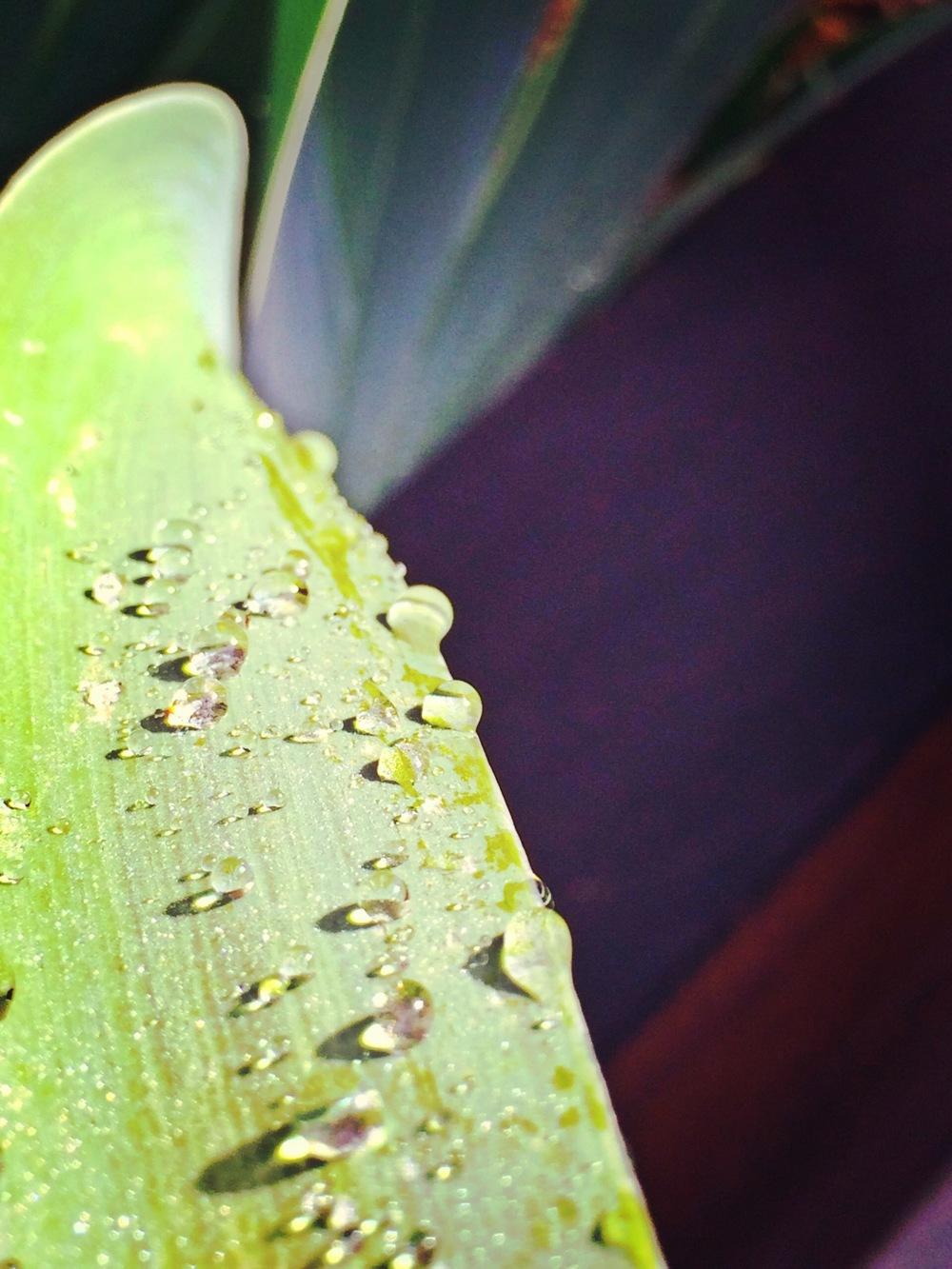 iris_droplets.JPG