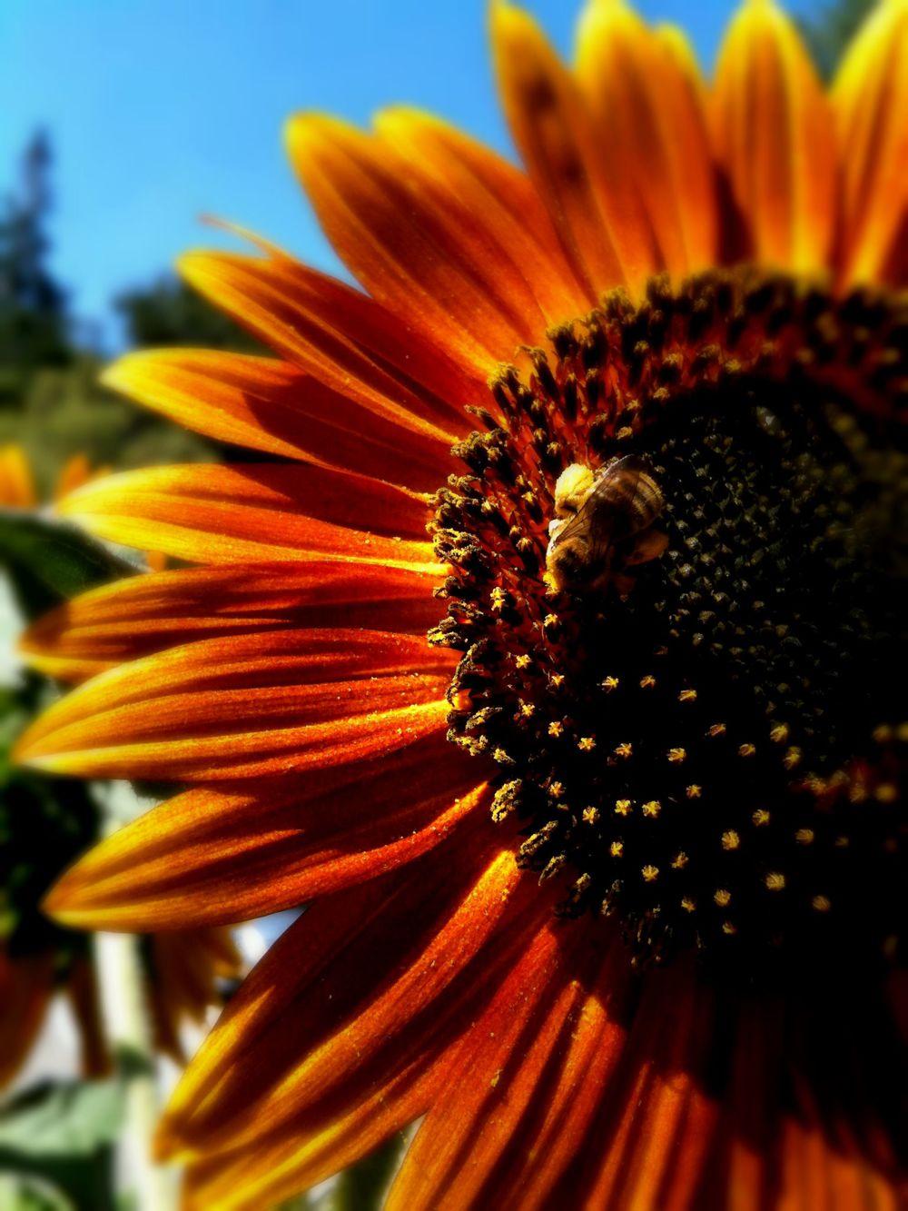 sunflower_bee.JPG