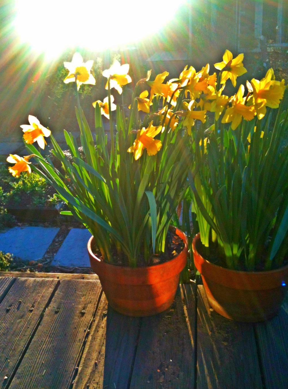 daffodils_pots.JPG