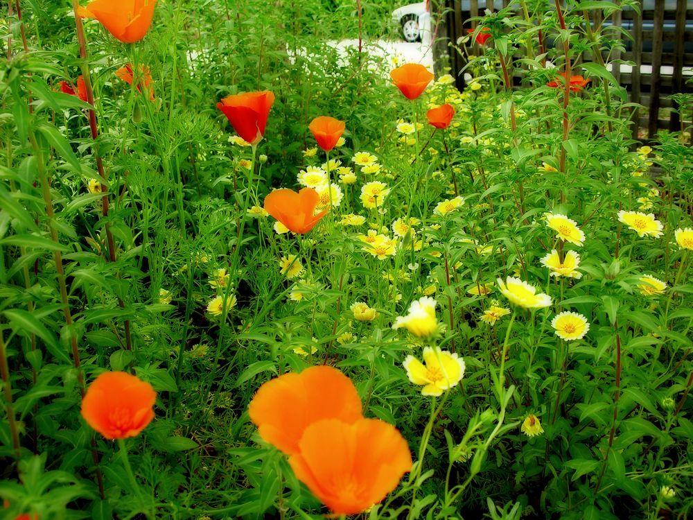poppies_tidy_tips.JPG
