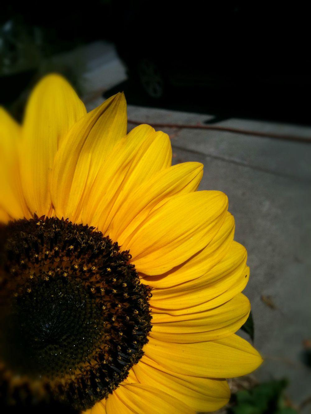 sunflower_yellow.JPG