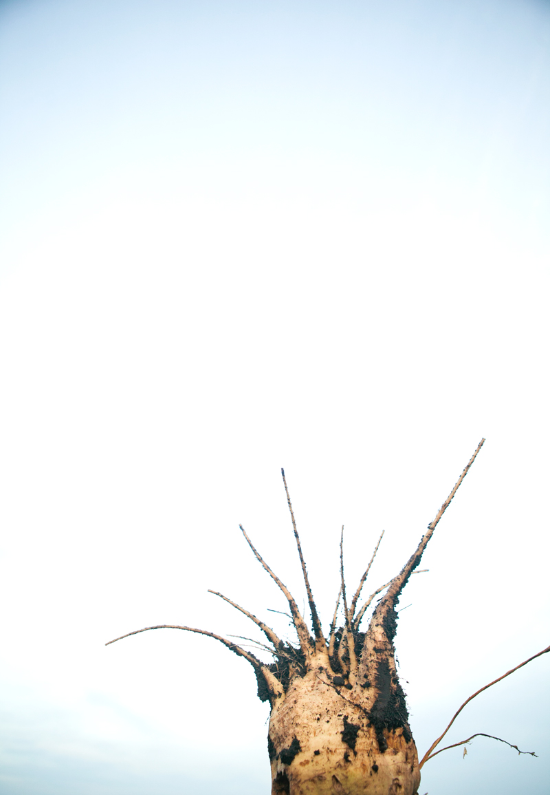 sugar-beet-harvest-3.jpg