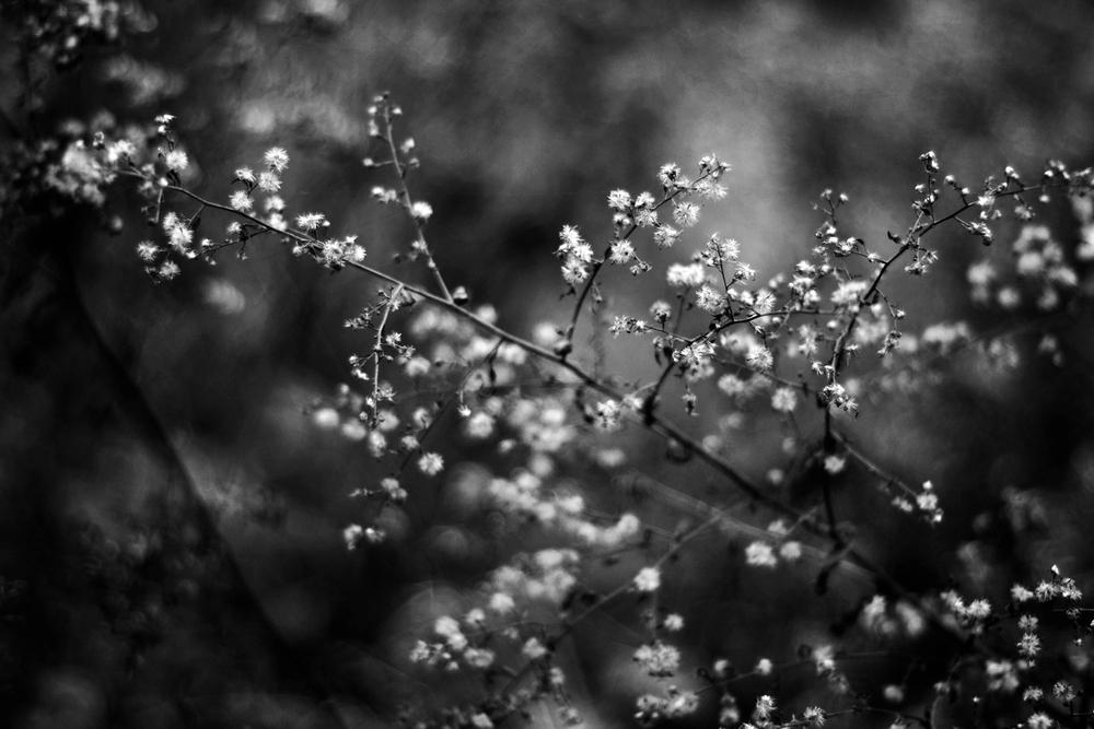 ASH-flowers.jpg