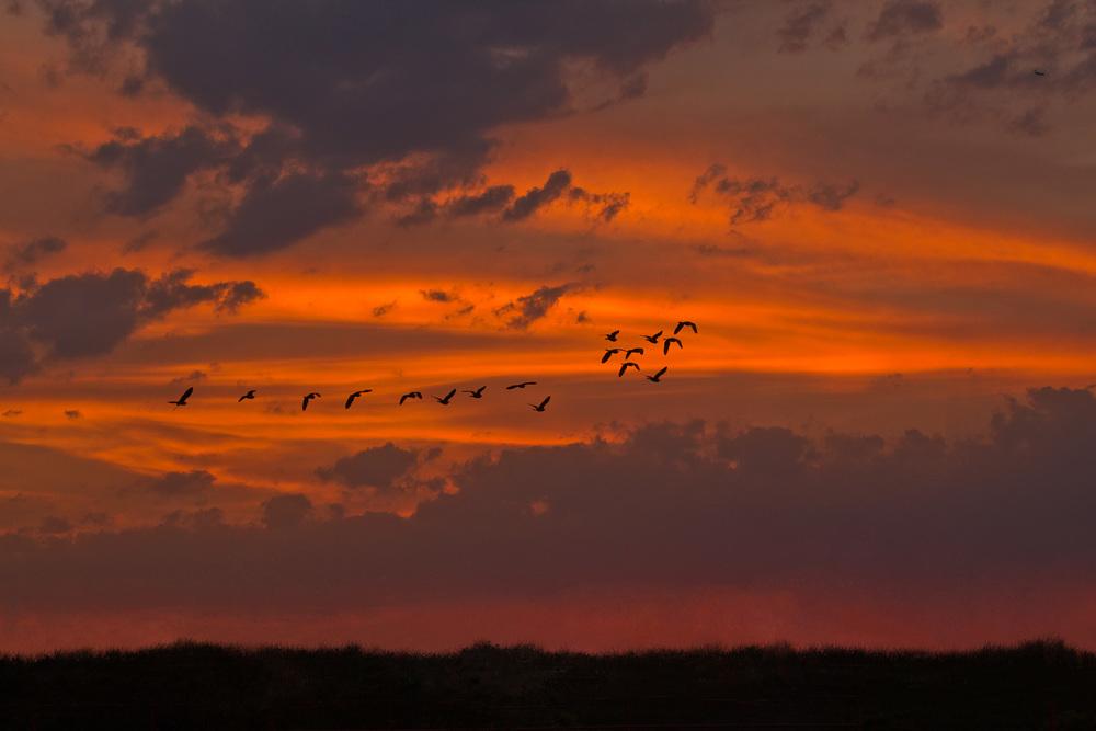Egrets-Migrating.jpg