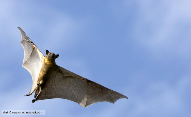 http://www.bbc.co.uk/nature/life/Straw-coloured_Fruit_Bat