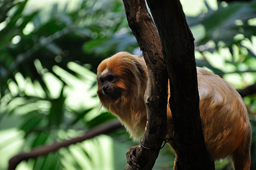 Golden lion tamarin monkey at the National Zoo