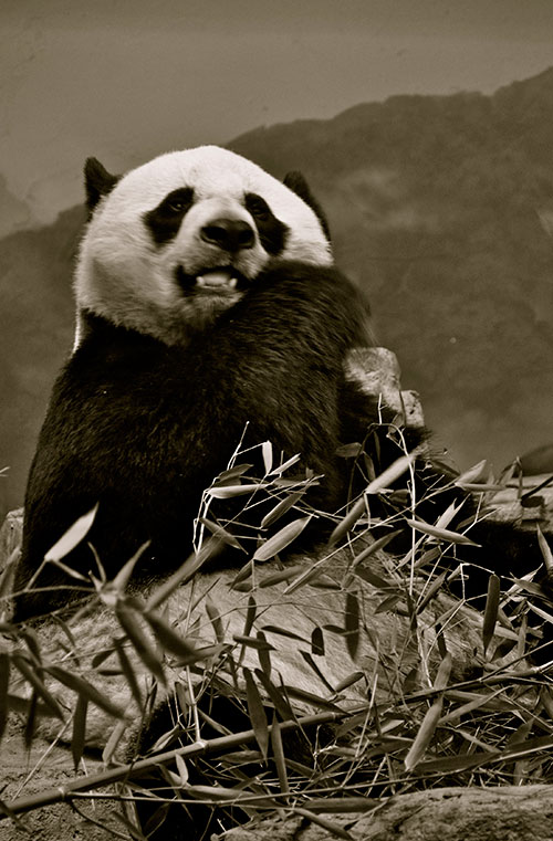 Giant panda at the National Zoo