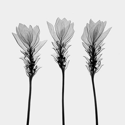 Siam Tulips (Curcuma alismotfolia).jpg