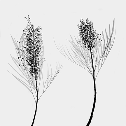 Grevillea banksii 'Alba' (Proteaceae).jpg