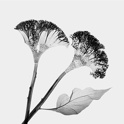 Celosia 2 (Amaranthacae).jpg