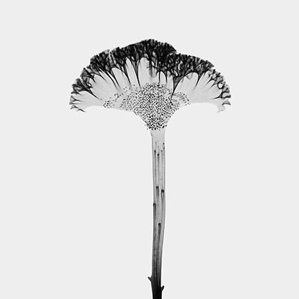 Celosia (Amaranthaceae).jpg
