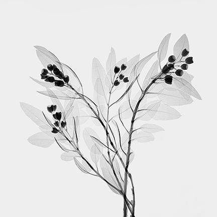 White Marlock (Eucalyptus tetragona).jpg