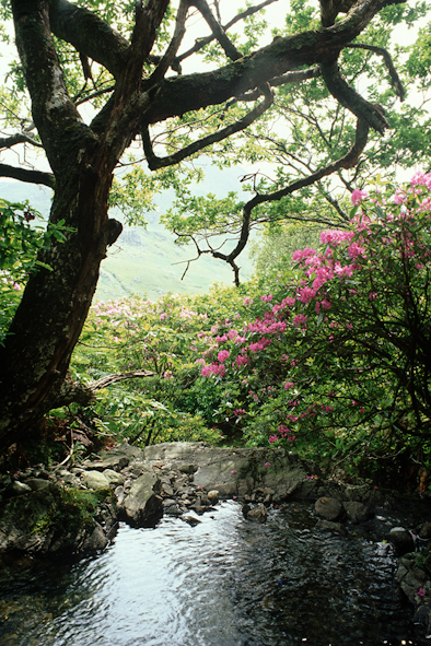 Fergus Bourke, Rhododendrons