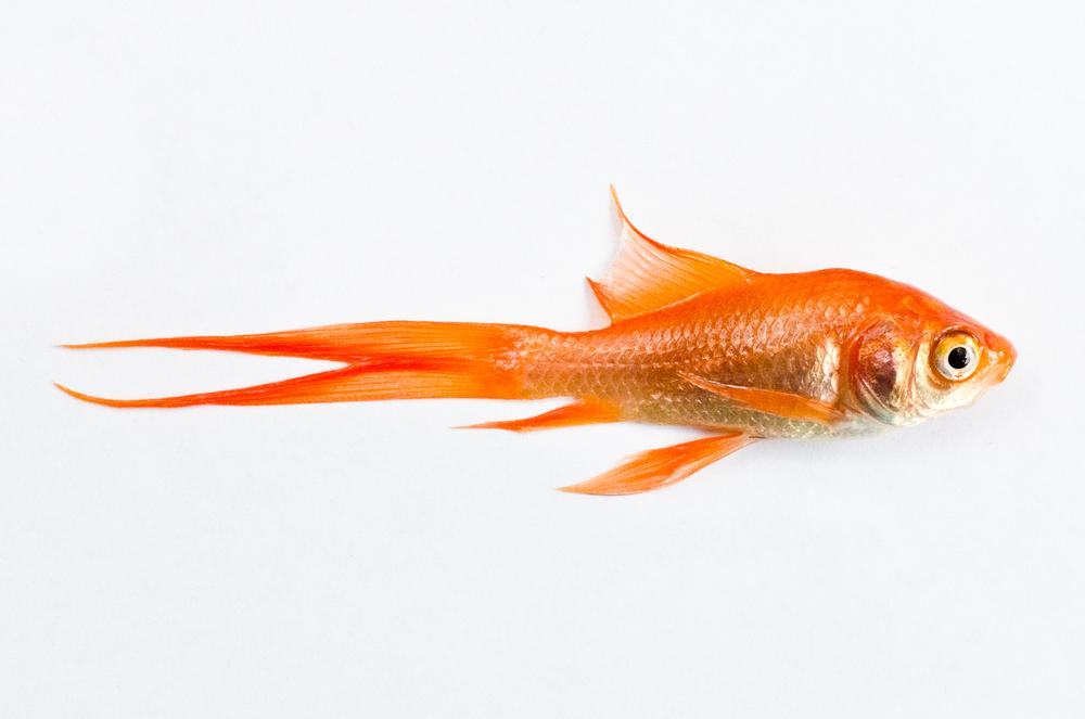 Dead Fish - Gold Fish 2 (2011).jpg