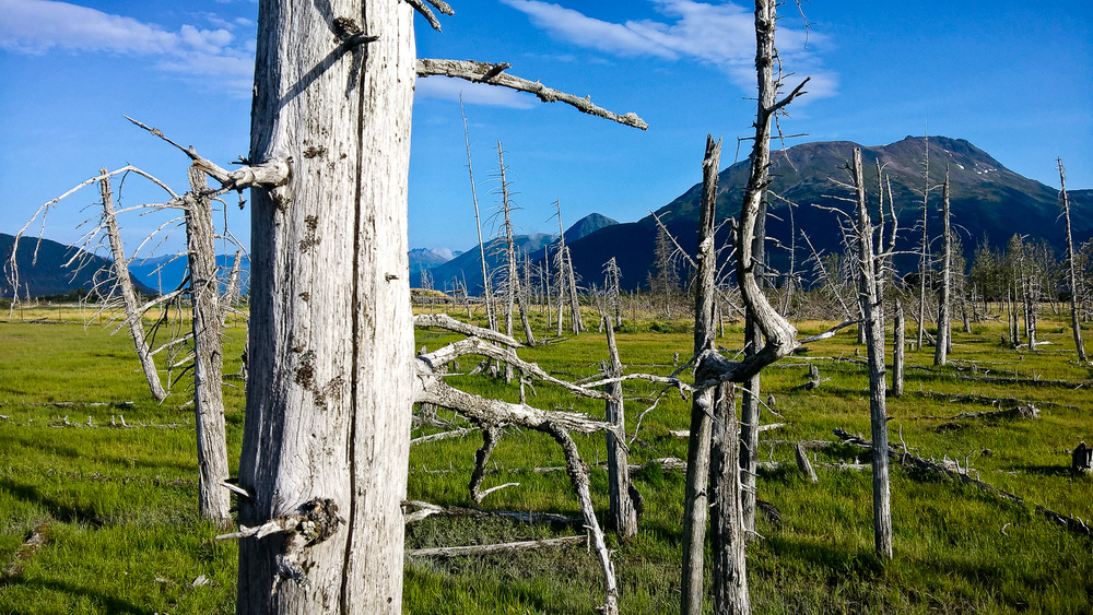 There are a ton of these dead trees around Alaska. From what I remember, a giant earthquake actually caused the land to change altitude and a lot of it was overrun with salt water. That killed the trees and preserved them. (Shot with the Nokia Lumia 640 XL)