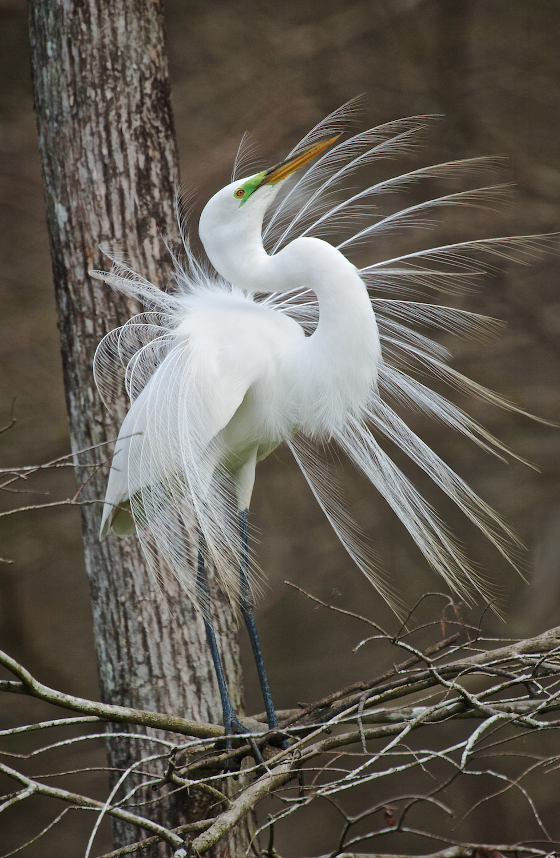 Great Egret Mating Display
