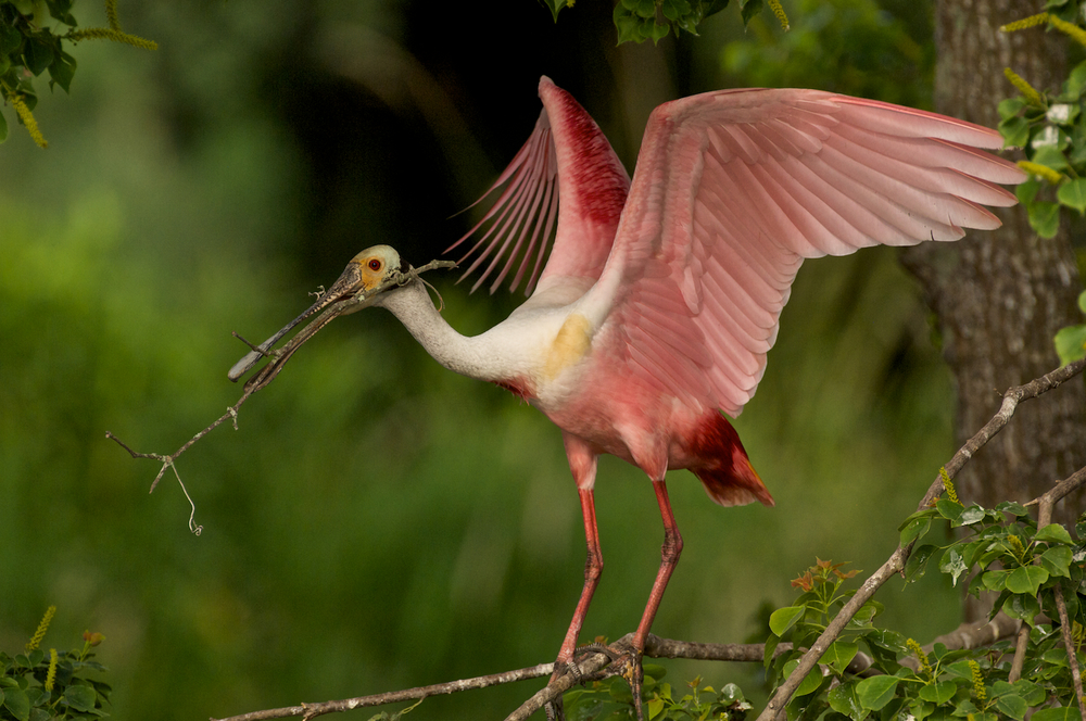 Roseate Spoonbill Collecting sticks
