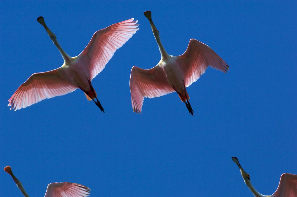 Roseate Spoonbills overhead