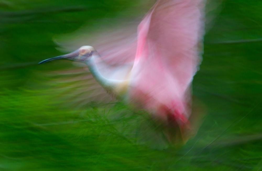 Roseate Spoonbill - Motion Blurr